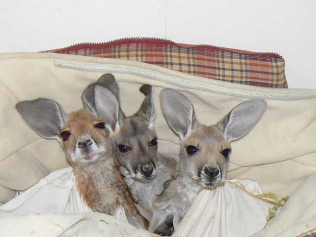 A Loving Home for Orphaned Baby Kangaroos
