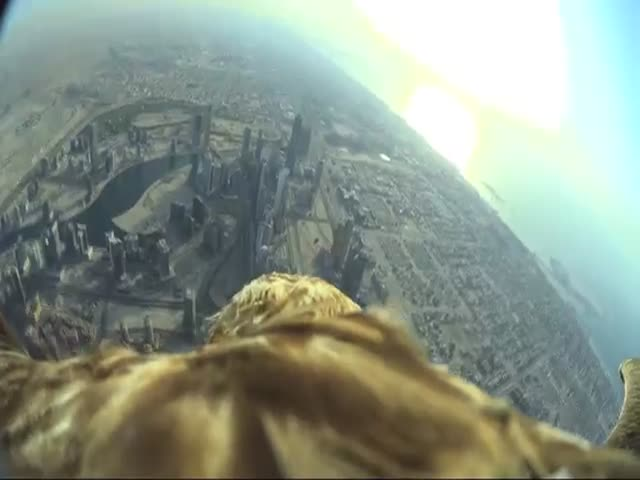 Eagle Sets Record Diving from Burj Khalifa in Dubai  (VIDEO)