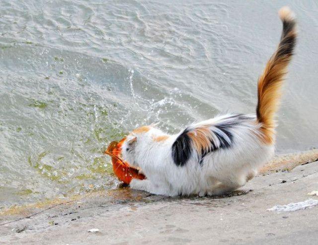 The Cat Fisherman Hauls in His Dinner
