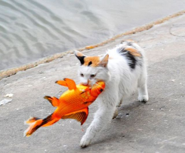 The Cat Fisherman Hauls in His Dinner