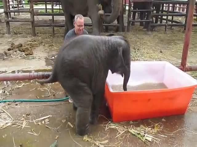 Clumsy Baby Elephant Tries to Take a Bath  (VIDEO)