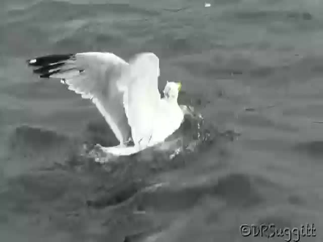 Fierce Fight of the Day: Weasel vs Seagull