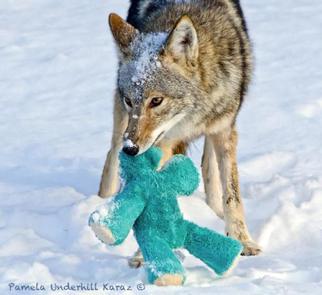 Wild Coyote Adopts an Abandoned Cuddly Toy