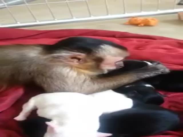 Capuchin Monkey Pets And Kisses Puppies Izismilecom