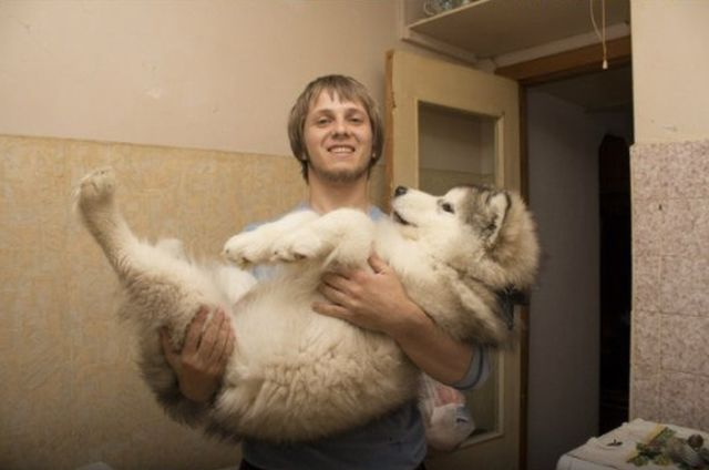Cute Malamute Puppy Turns into a Giant Fury Beast