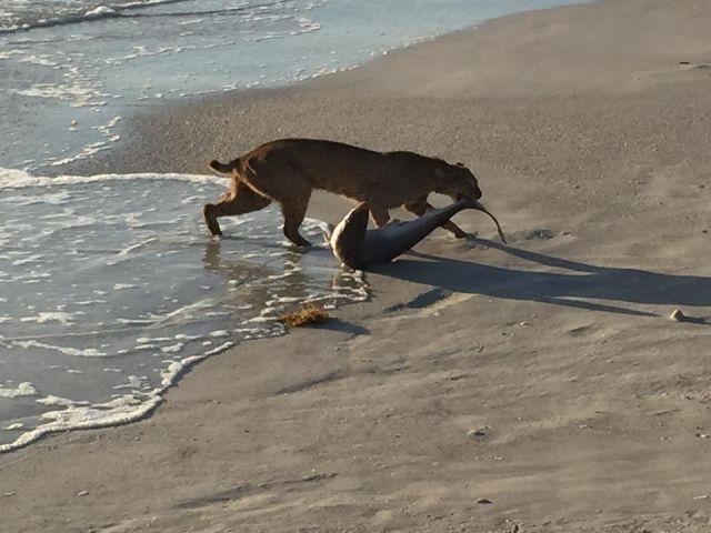 Wild Bobcat Catches a Shark in Florida