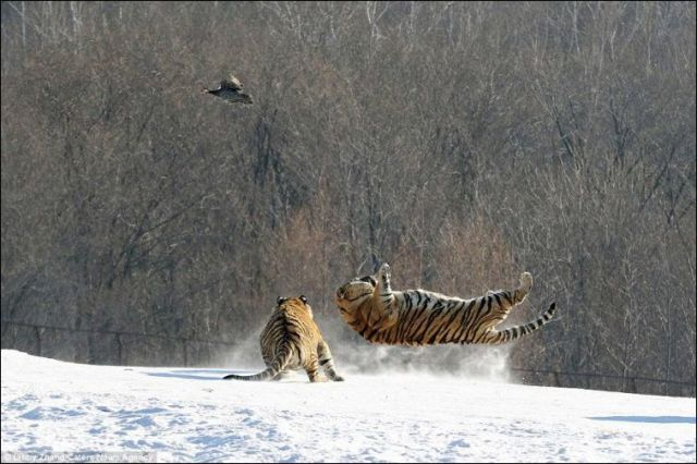 A Hilarious Tiger Fail in China