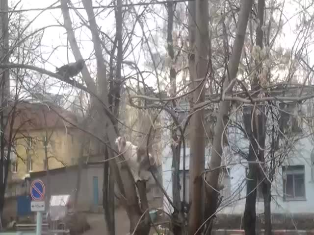 Crow Trolls Cat in Tree