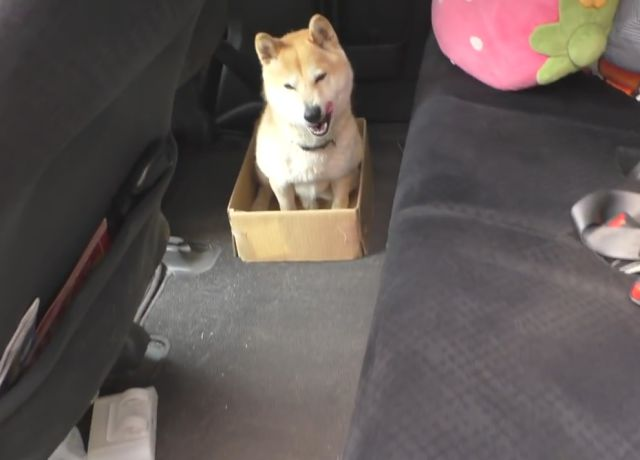 Owner Pranks His Shiba Inu with Progressively Smaller Boxes to Sit in