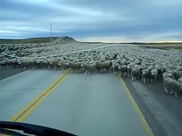 Chilean Truck Driver Experiences the Sheepocalypse  (VIDEO)