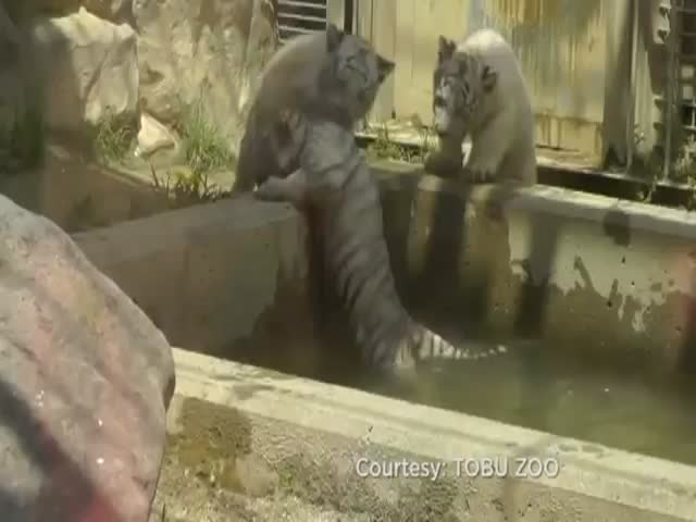 White Tiger Cub Rescues Brother After He Falls into Pool  (VIDEO)