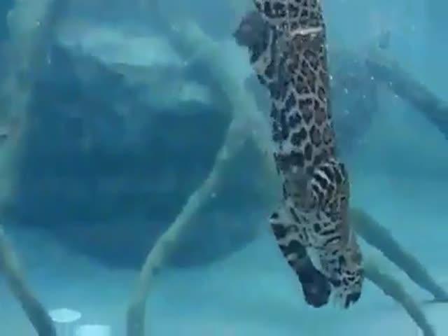 Jaguar Swimming Underwater  (VIDEO)