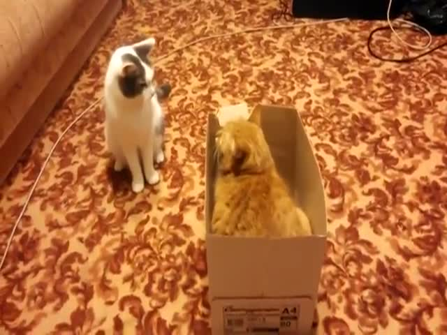 Two Cats, One Box  (VIDEO)