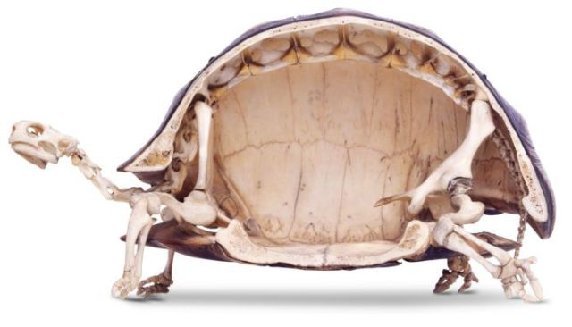 This Is What Is Really Lurking Underneath a Tortoise Shell