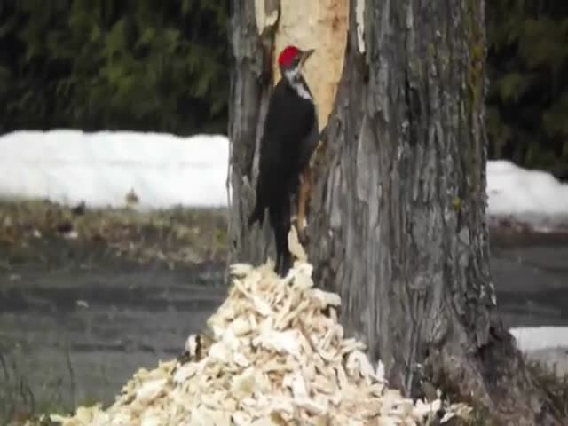 An Extremely Motivated Pileated Woodpecker