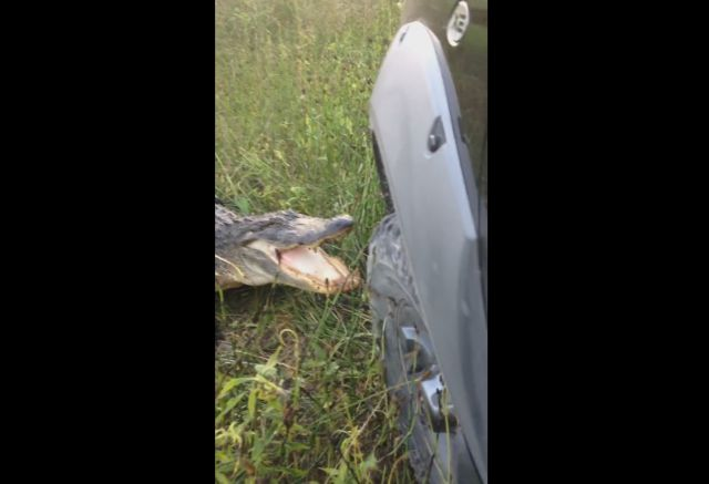 Gator Takes on Pickup Truck