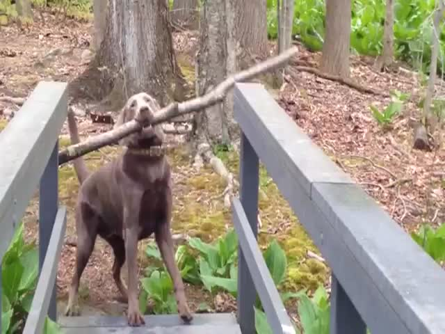 Dog Solves Stick across Narrow Bridge Problem  (VIDEO)