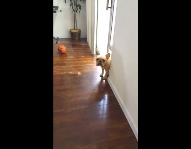 Guilty French Bulldog Has an Awkward Encounter with His Owner