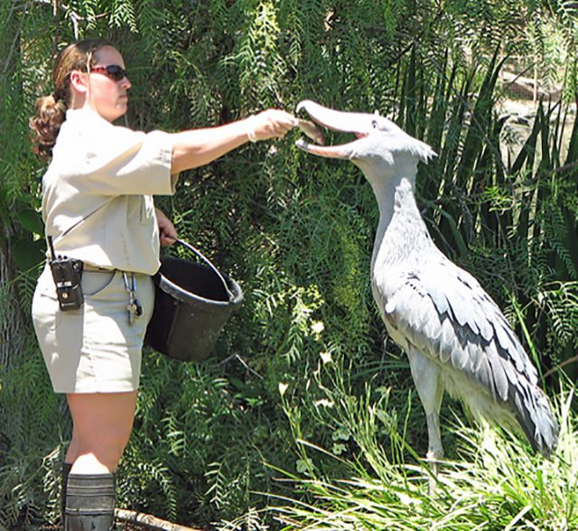 If You Ever Doubted the Existence of Dinosaurs Then You've Never Seen the Shoebill Stork