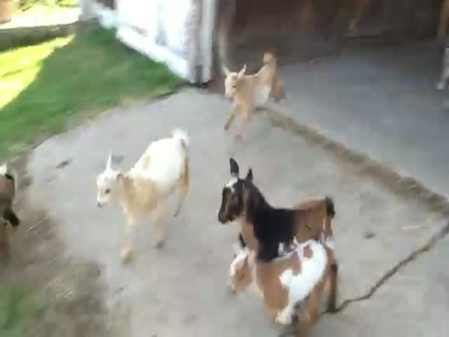 This Goat Run Has Nothing on the Bulls  (VIDEO)