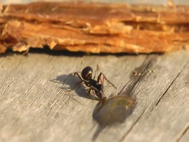 Ant vs. Vodka Drop in Ultimate Showdown  (VIDEO)