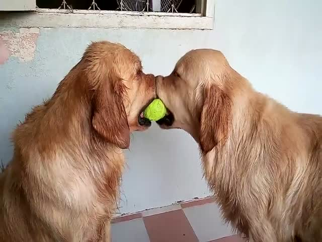 A Tennis Ball Standoff That You Simply Have to See  (VIDEO)