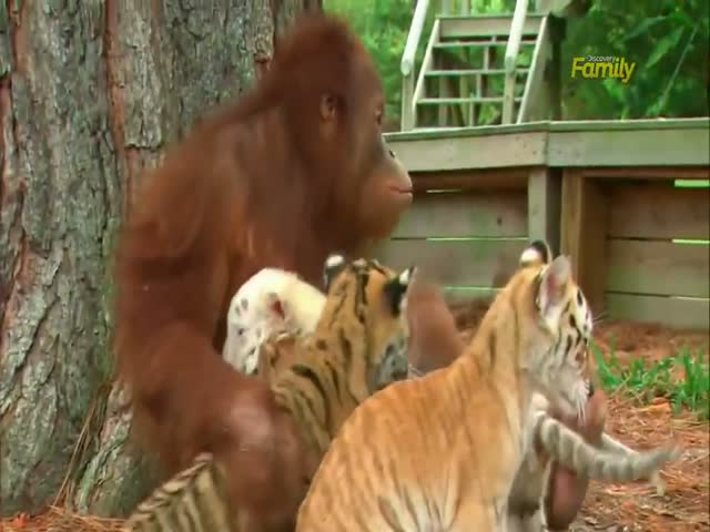 A Tiger and Orangutan Like You've Never Seen Them Before
