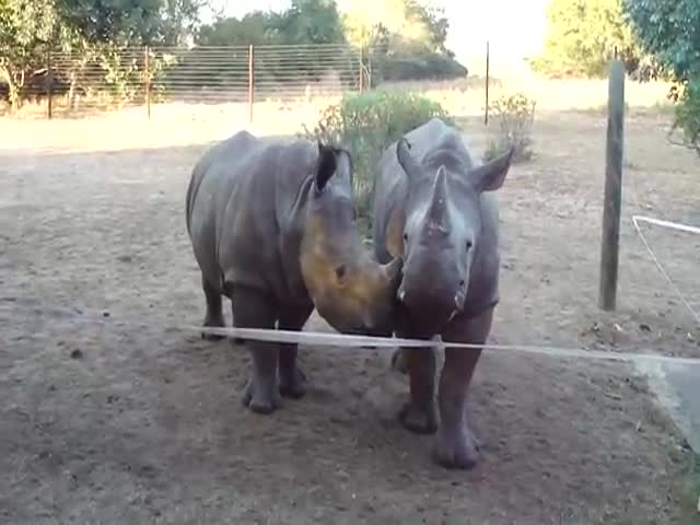 Baby Rhinos Sound So Cute It's Crazy