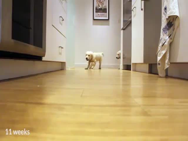 Pups Running to Dinner: From 11 Weeks to 11 Months  (VIDEO)
