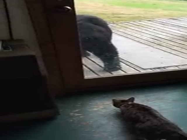 Brave Cat Challenges a Black Bear and Wins