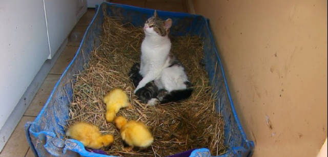 Abandoned Baby Ducklings Get a New Cat Family
