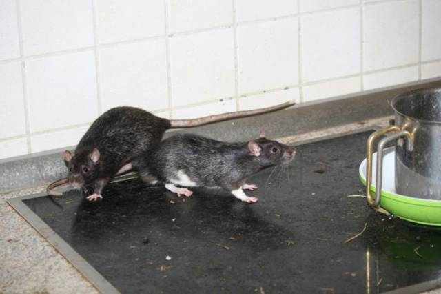 An Apartment That Is Home to 300 Rats
