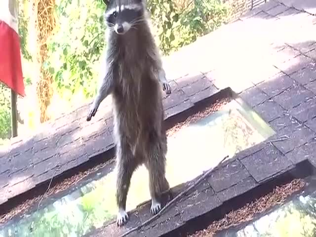 Young Raccoon Gets a Tree Climbing Lesson from Its Mom