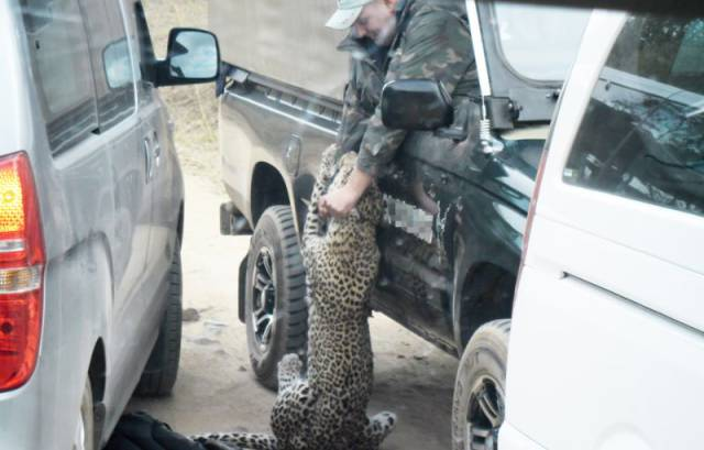 African Safari Guide Gets Attacked by a Leopard