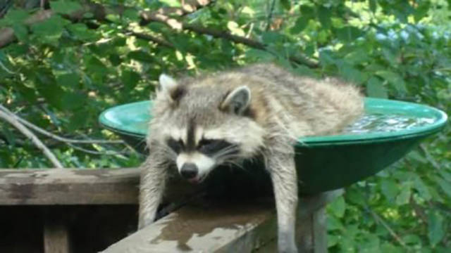 Damn it s hot outside 33 pics for Do raccoons eat fish