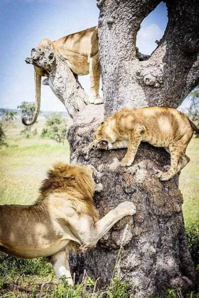 Lions Find a Comfy Spot to Escape the Flies Down Below