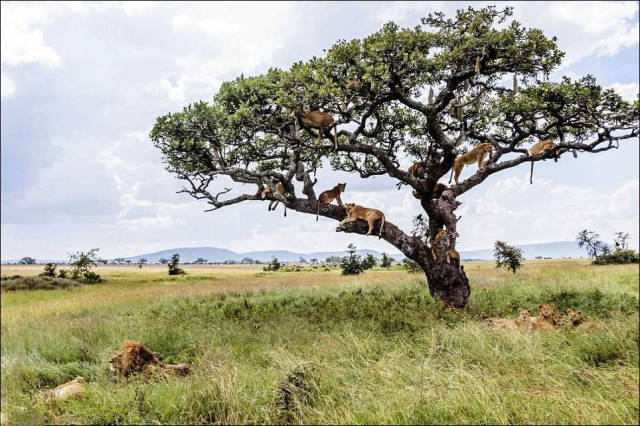 Lions Find a Comfy Spot to Escape the Flies Down Below