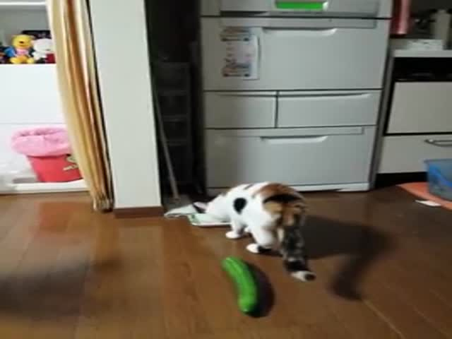 Cat Gets Scared by a Surprise Cucumber
