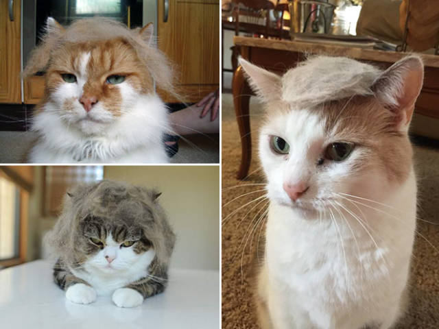 Donald Trump Cats are Taking the Internet by Storm