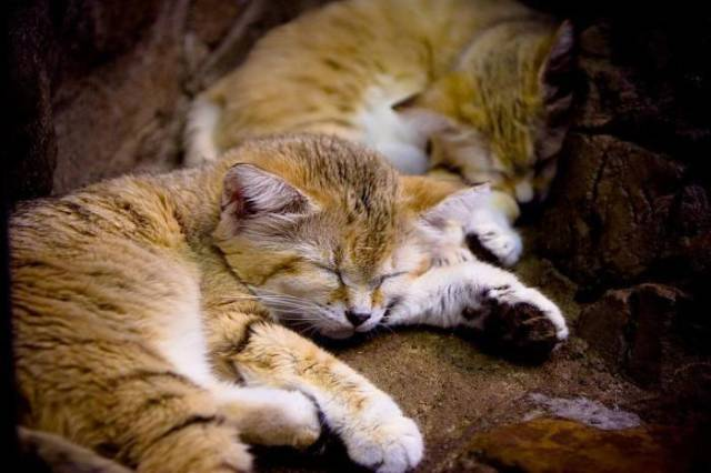 The Cat That Stays a Kitten Forever