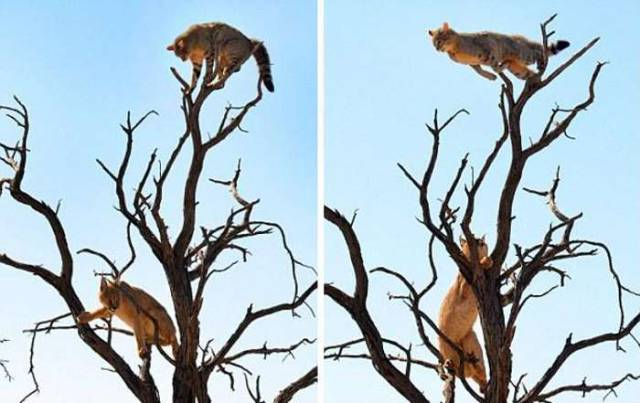 Wild Cat Tree Jumps to Escape a Predatory Lynx
