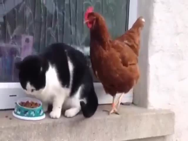 Chicken Fights a Cat for His Food and Wins