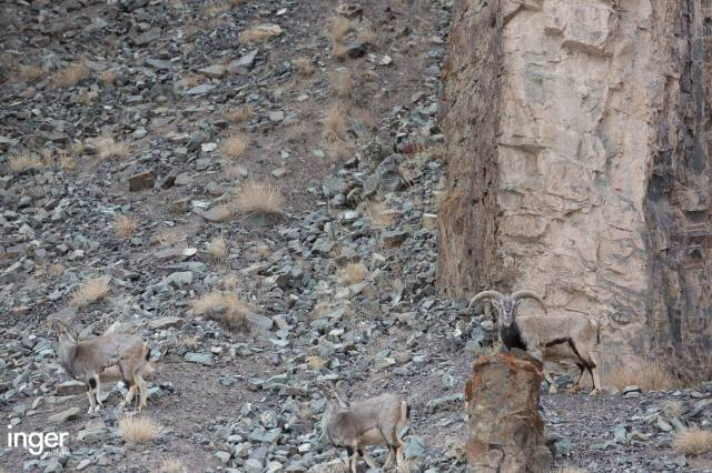 There Is a Snow Leopard In This Picture but Can You Find It?