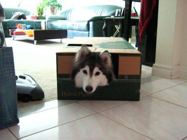 The Adorable Husky That Thinks She Is Part of the Cat Family