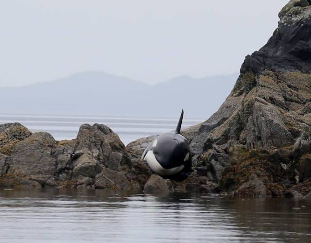 Caring Volunteers Help Beached Orca Whale Survive During Low Tide