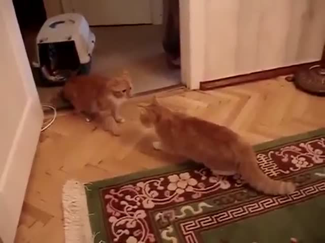 Cat Gets Hit by Other Cat And Meows Obnoxiously