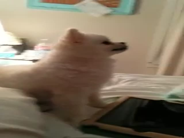 The Funniest Pomeranian Puppy Sneeze Ever