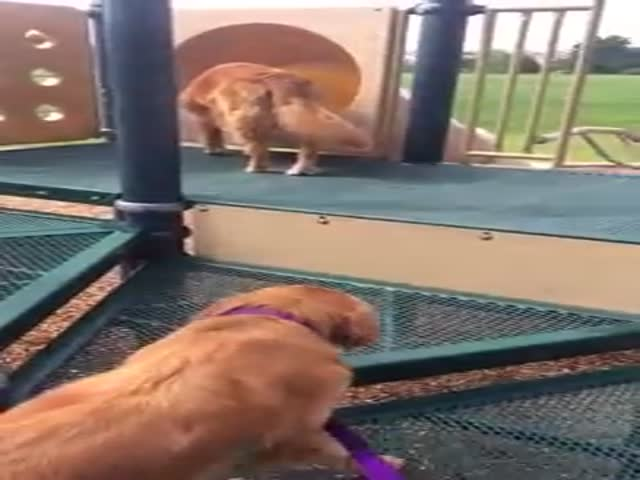Golden Retriever Puppy Gets a Helpful Tug in the Right Direction
