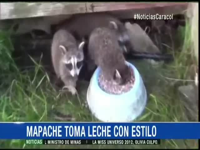 Raccoon Goes Mad for Milk