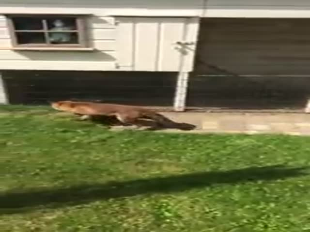 Fox Tries to Catch Its Next Chicken Meal